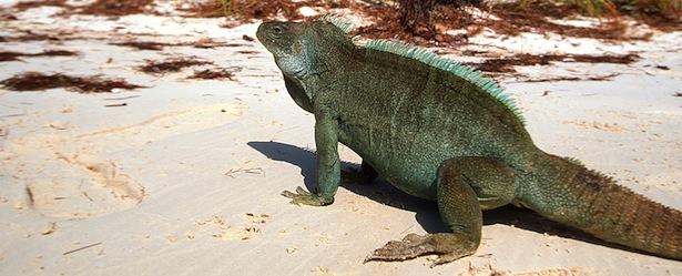 Rock Iguana Turks and Caicos Iguana Island