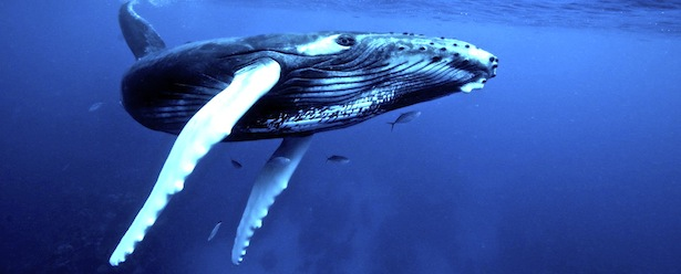 Things to do in turks and caicos Humpback Whale