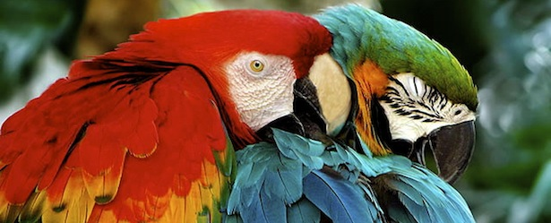 Parrot Love at Parrot Cay