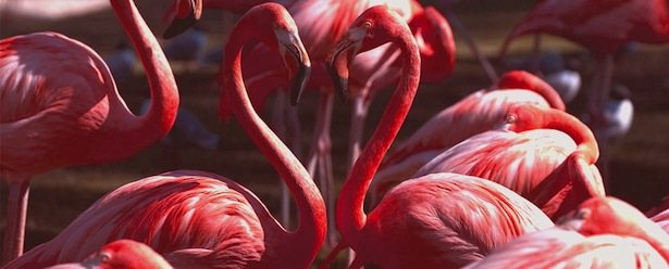Animals of Turks and Caicos Flamingo Heart