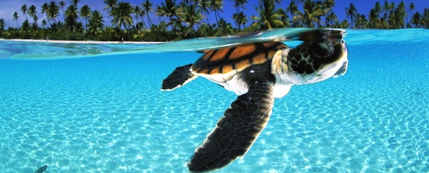 Animals of Turks and Caicos: Sea Turtle