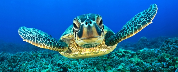 Sea Turtles of Turks and Caicos